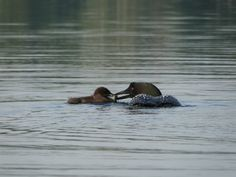 Loons feeding time