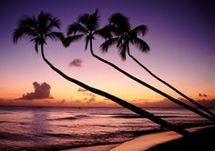 Palm trees at sunset on a Barbados beach.