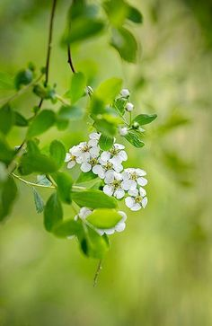 Bridal Wreath by Jacky Parker Floral Art on. Flowers Nature, Love Flowers, White Flowers, Beautiful Flowers, Spring Green, Spring Colors, Bouquets, White Gardens, Trees And Shrubs