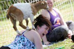 Goat Yoga Goat Yoga, Goat Farming, Goats, Animals, Animais, Animales, Animaux, Animal, Goat