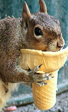 squirrel eating from an ice cream cone. In his defense, it does say eat it on the cone. Animals And Pets, Baby Animals, Funny Animals, Cute Animals, Wild Animals, Cute Squirrel, Baby Squirrel, Squirrels, Squirrel Pictures