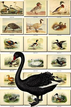 WATERFOWLS-2 Birds Collection of 52 vintage illustrations Black Swans Goose Ducks pictures images High resolution digital download printable           data-share-from=listing        >           <span class=etsy-icon