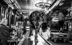 Wolf Walks On A Bar In Montana Photography By: David Yarrow