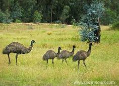 Emu's running in Australian Bushland Ostriches, Australian Animals, All Gods Creatures, Emu, Yahoo Images, Pet Birds, New Zealand, Image Search, Running