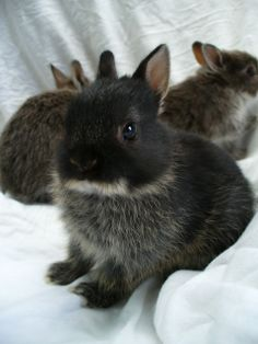 Black Otter Netherland Dwarf Bunnies: Sold out at this time!