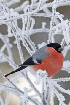 Wonderful Bull Finch, the male is a gorgeous coral colour, and the female is a duller taupe colour. We have a mating couple that regularly. Call at our bird feeders.