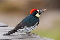 Acorn Woodpecker (Melanerpes formicivorus) is the hoarder of the bird world...have an insatiable appetite for acorns.