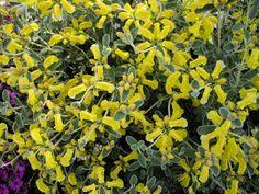 Phlomis lanata Sage Plant, Herbaceous Perennials, Salvia, Shrubs, Garden, Plants, Garten, Sage, Lawn And Garden