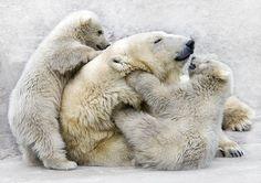 cubs wrestling with mamma polar bear