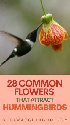 Hummingbird Habitat, Hummingbird Flowers, Hummingbird Garden, Hummingbird Pictures, Flowers That Attract Hummingbirds, How To Attract Birds, Attracting Hummingbirds, Homemade Hummingbird Nectar, Humming Bird Feeders