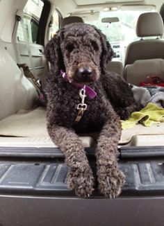 Great lakes standard poodle rescue