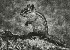 """Chipmunk, 5x7"""", Scratchboard Art, from my own photo references, Sandra LaFaut"""