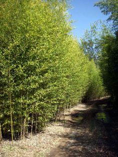 bamboo living fence: Phyllostachys Aurea 'GOLDEN BAMBOO'