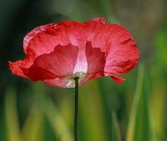 Poppy in the Light