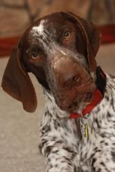 Dover (DFW) is an #adoptable German Shorthaired Pointer, Dog; in #Dallas, #TEXAS...you are so unique!  :-)