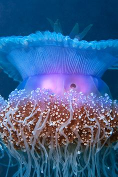 A lovely jellyfish in Australia's Coral Sea