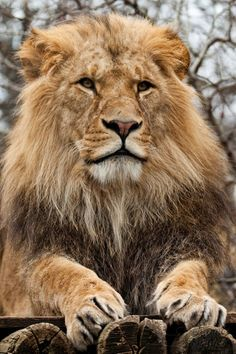 Majestic   ...........click here to find out more     http://googydog.com