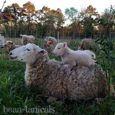 Some of our flock of Gulf Coast sheep and their lambs, enjoying the sunset!