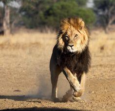 Lion charging ; Kgalagadi - Botswana .