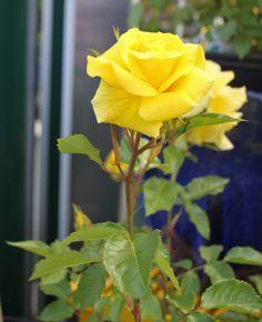 'Sunsprite' rosebud mid-bloom