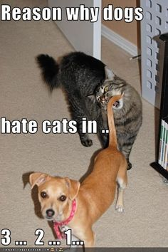 Reason why dogs hate cats in . Hate Cats, I Love Cats, Crazy Cats, Crazy Cat Lady, Funny Animal Pictures, Funny Animals, Cute Animals, Funniest Animals, Animal Fun