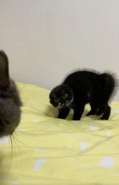 Funny Cute Cats, Cute Baby Cats, Cute Cat Gif, Cute Little Animals, Cute Kittens, Cute Funny Animals, Cats And Kittens, Black Kittens, Cute Animal Videos