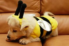 Or the fact that they look so cute in costumes...   28 Pictures Of Golden Retriever Puppies That Will Brighten Your Day