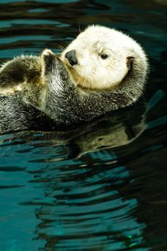 Sea Otter by Paul Richards. °