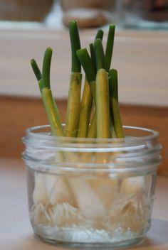 Plantar cebolletas en casa... sin tierra