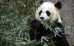 Filhote de urso panda nasce em zoológico de Washington