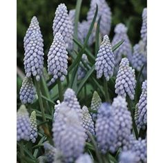 "The densely packed florets and soft blue shade of this classic grape hyacinth ""Valerie Finnis"" lends itself well to use as an edging for borders or as a feature in rockeries. Its compact growth and sturdy flower stems make it equally useful for pot-forcing or as a shorter-stemmed cut flower. Buy Muscari (Grape Hyacinths) Valerie Finnis at wholesale pricing for Fall delivery with DutchGrown!Height: 6-8 InchesBulb size: Top Size 8/9 cm"