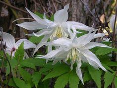 Clematis alpina Albina Plena  At/Co