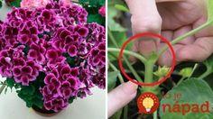 Ako dosiahnuť, aby muškáty kvitli naplno počas celej sezóny? Držte sa týchto rád a budú najkrajšie v okolí!