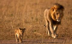 Father and son lion