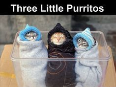 Three Little Purritos cute animals cat cats adorable animal kittens pets kitten funny pictures funny animals funny cats purritos