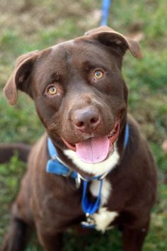 Hal is adopted through AoA! is a 1 yr old Chocolate Lab/Pit mix. Hal is a goofy guy who loves to play. When I take him out he tugs on the leash as if he's taking me for a walk. Hal still has puppy energy and could use someone to give him guidance  and love. Let Hal be your Pal! For more info contact RCACP at 540-344-4922 EXT 2 or 6. Email: ecarden@rcacp.org To Adopt/Foster/Rescue contact your local rescues such as Angels of Assisi, FCHS, or RVSPCA