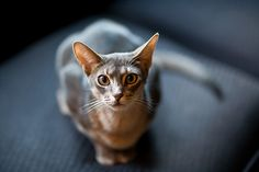 Zidane - Blue Abyssinian by Velodramatic, via Flickr