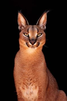 Caracal at Cheetah Experience, Bloemfontein, Africa - animals - Cats Big Cats, Crazy Cats, Cool Cats, Cats And Kittens, Siamese Cats, Hairless Cats, Small Wild Cats, Cats Bus, Bengal Cats