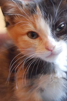 """""""Kittens are angels with whiskers."""" --Author Unknown"""