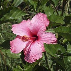De las muchas flores que se pueden comer, la Malvarosa o Hibisco es prodigiosa. Mejora la circulación, es diurética y eficaz contra el estrés. Puedes echarla en ensaladas o hacer almíbares o bebidas.