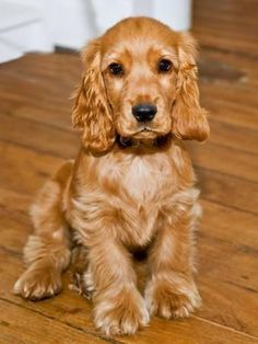 Dog Breeds - Cocker Spaniel - Puppies - English Cocker
