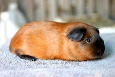 Guinea Piggies