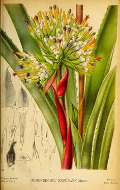 204452 Aechmea aquilega (Salisb.) Griseb. [as Hohenbergia exsudans (Lodd.) E.Morren]  / La Belgique horticole, journal des jardins et des vergers, vol. 29: t. 18 (1879)