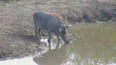 Warthog with big tusks at Nkorho - May 16 2016 - 2:11pm| Africam