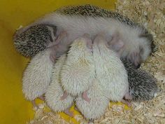 Hedgehog with babes ♥ Visit our Page -► Wildlife and Nature Pictures ◄- For more. Baby Hedgehogs For Sale, Hedgehog For Sale, Cute Hedgehog, Cute Baby Animals, Animals And Pets, Funny Animals, Cute Creatures, Beautiful Creatures, Animals Beautiful
