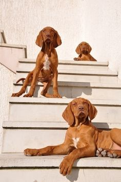 Vizsla puppies. Vizsla dog art portraits, photographs, information and just plain fun. Also see how artist Kline draws his dog art from only words at drawDOGS.com He also can add your dog's name into the lithograph.