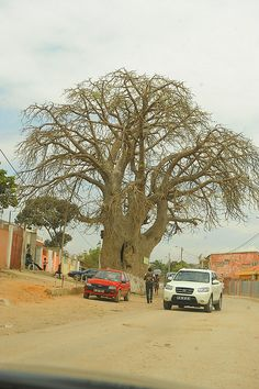 """The Big Tree,"" Luanda, Angola, Africa.  Photo: Blad M via flickr"