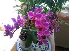 az egyik orchideám - ennyi virág még soha nem volt rajta!