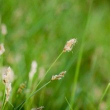 Resources | FormLA Landscaping  Enjoy Carex pansa's happy tips of gold now. Soon these lovely seed heads will be cut back from IdealMow meadows.