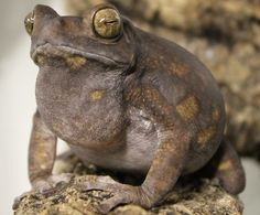 yellow spotted climbing toad male calling